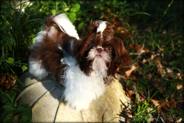 Imperial Shih Tzu puppies for sale, Imperial Shih Tzu, Imperial Shih Tzu puppies, Imperial Shih Tzu for sale, Teacup Shih Tzu, Teacup Shih Tzu puppies, Teacup Shih Tzu for sale, Shih Tzu, shih tzu for sale, shih tzu for sale near me, shih tzu puppies for sale, shih tzu puppies