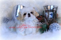 White Teacup Shih Tzu puppies,  Imperial Shih Tzu puppies, Imperial Shih Tzu, Imperial Shih Tzu puppies for sale, Teacup Shih Tzu for sale, Teacup Shih Tzu puppies, Teacup Shih Tzus for sale, Imperial Shih Tzu for sale, Teacup Shih Tzu