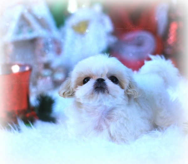 White Imperial Shih Tzu puppies