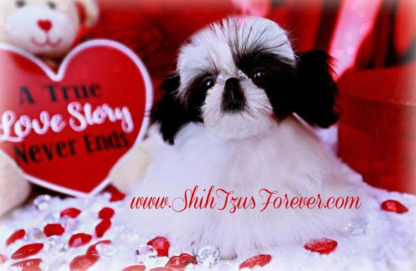 Black and White Imperial Shih Tzu puppies