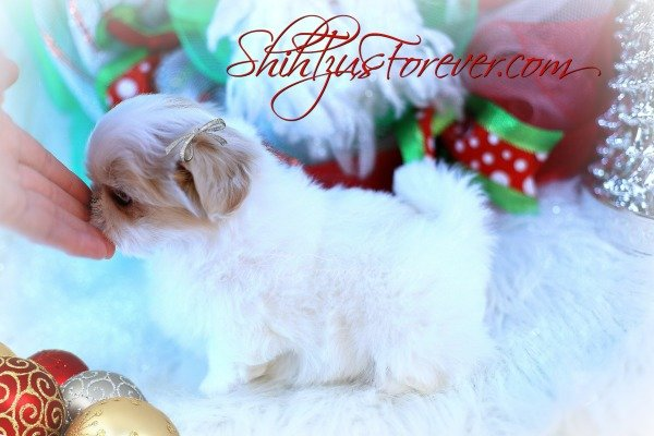 Cream and White Imperial Shih Tzu puppies for sale