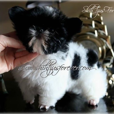 Black and White Teacup Shih Tzu puppies
