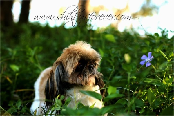 Imperial Shih Tzus for sale, Imperial Shih Tzu puppies, Imperial Shih Tzu, Shih Tzus for sale